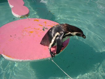 飛び込めないペンギン